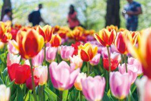 Tulpen - Reise ins Blaue